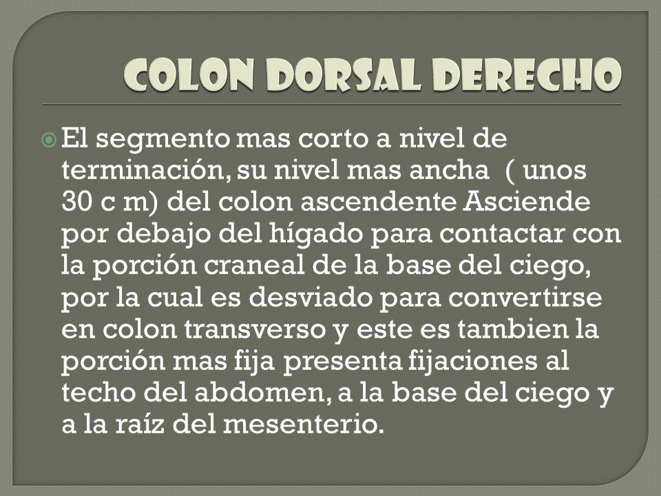 COLON DORSAL DERECHO