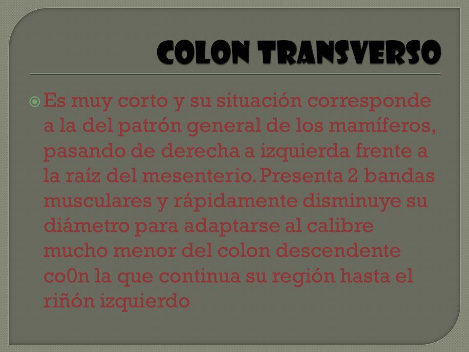 Colon transverso