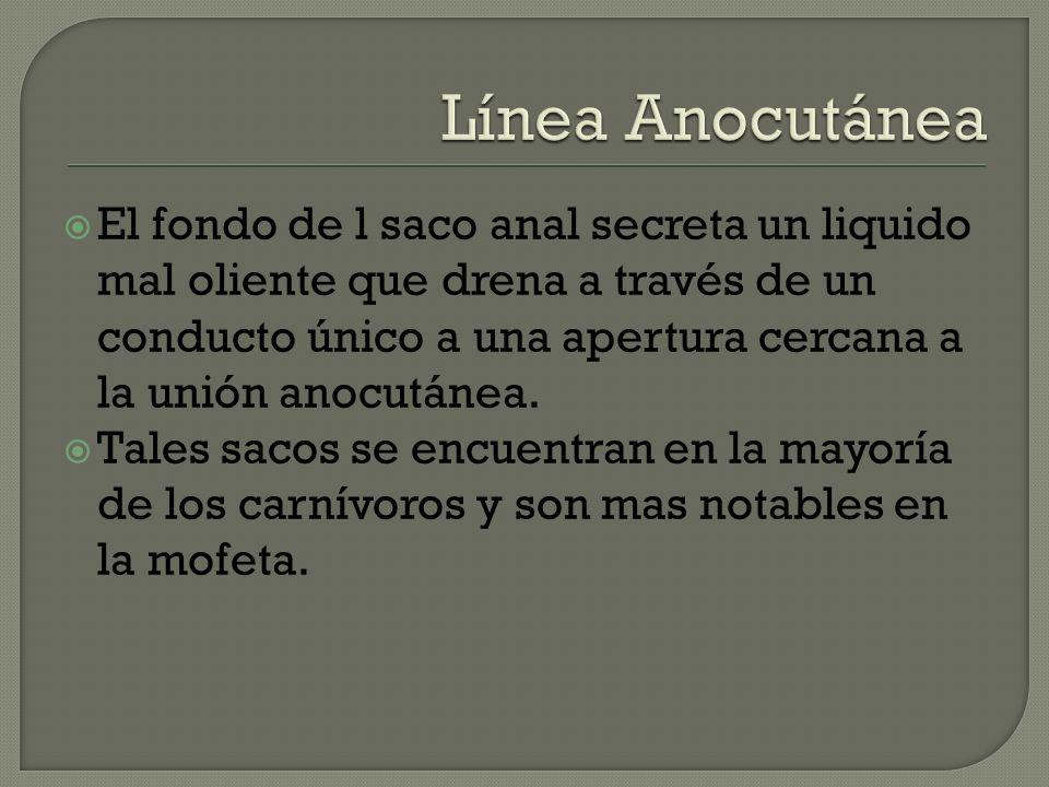 Línea Anocutánea