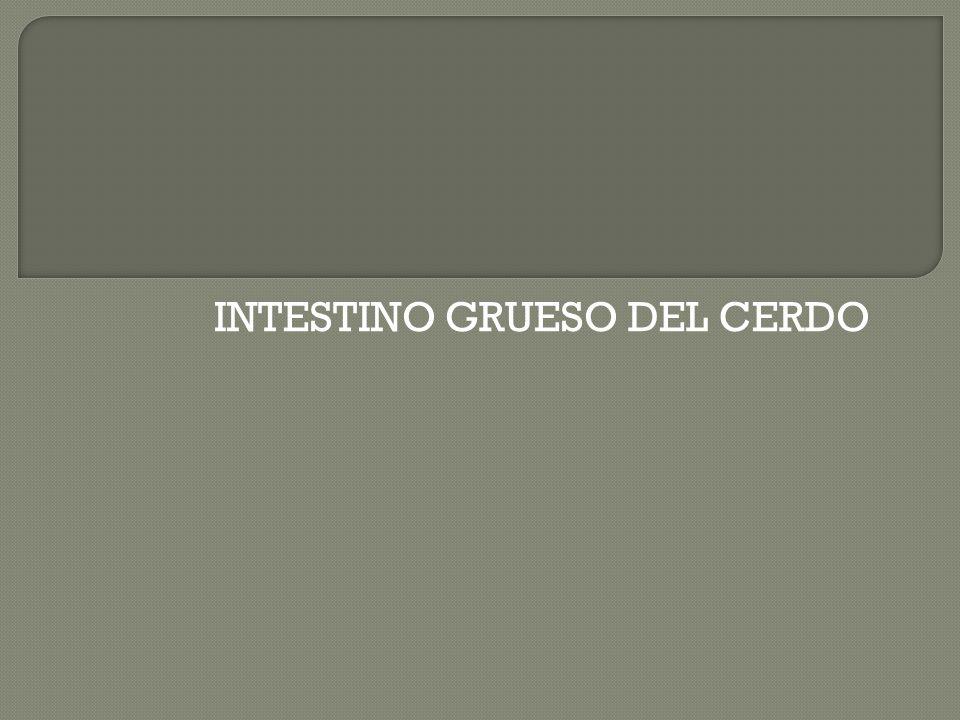 INTESTINO GRUESO DEL CERDO