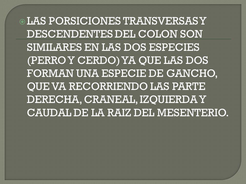 LAS PORSICIONES TRANSVERSAS Y DESCENDENTES DEL COLON SON SIMILARES EN LAS DOS ESPECIES (PERRO Y CERDO) YA QUE LAS DOS FORMAN UNA ESPECIE DE GANCHO, QUE VA RECORRIENDO LAS PARTE DERECHA, CRANEAL, IZQUIERDA Y CAUDAL DE LA RAIZ DEL MESENTERIO.