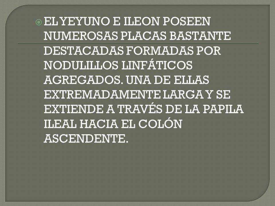 EL YEYUNO E ILEON POSEEN NUMEROSAS PLACAS BASTANTE DESTACADAS FORMADAS POR NODULILLOS LINFÁTICOS AGREGADOS.