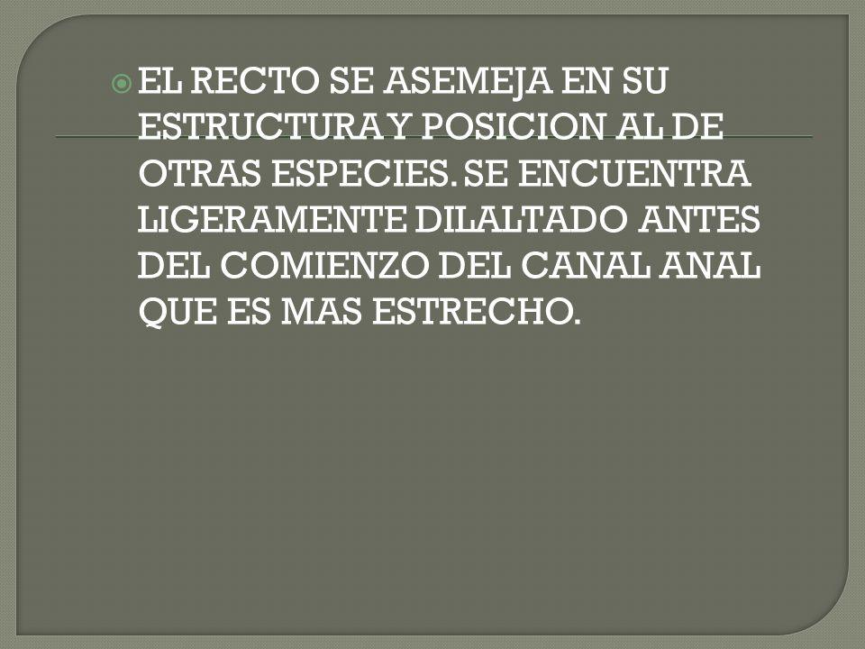 EL RECTO SE ASEMEJA EN SU ESTRUCTURA Y POSICION AL DE OTRAS ESPECIES