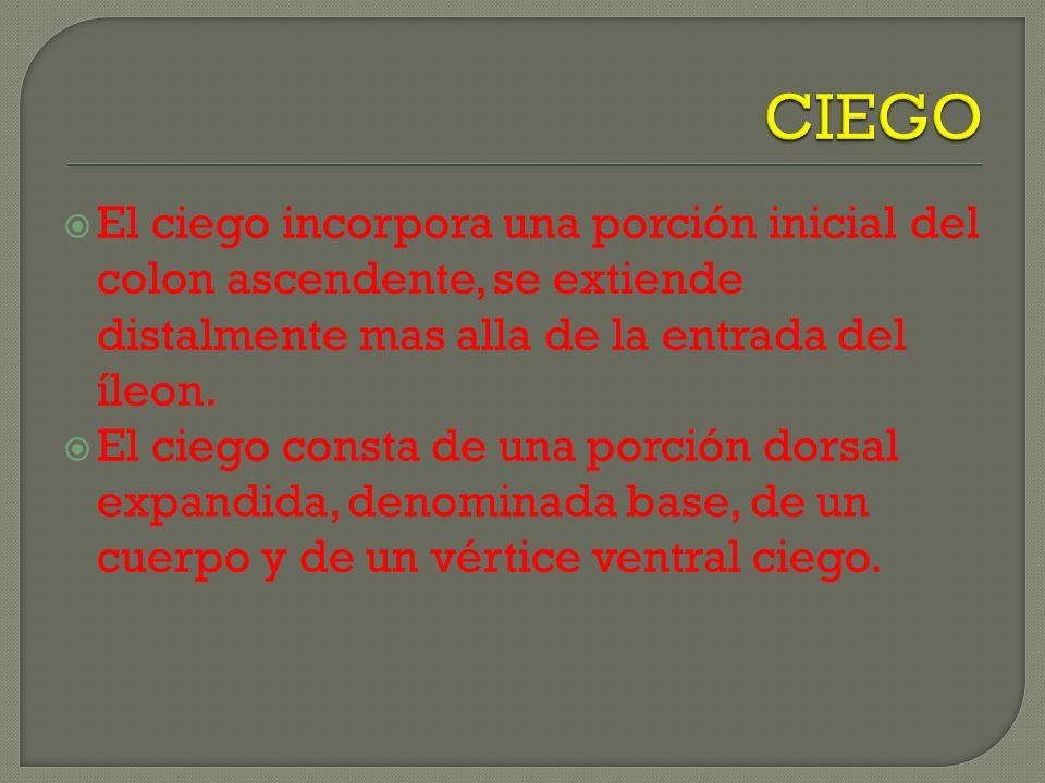 CIEGOEl ciego incorpora una porción inicial del colon ascendente, se extiende distalmente mas alla de la entrada del íleon.