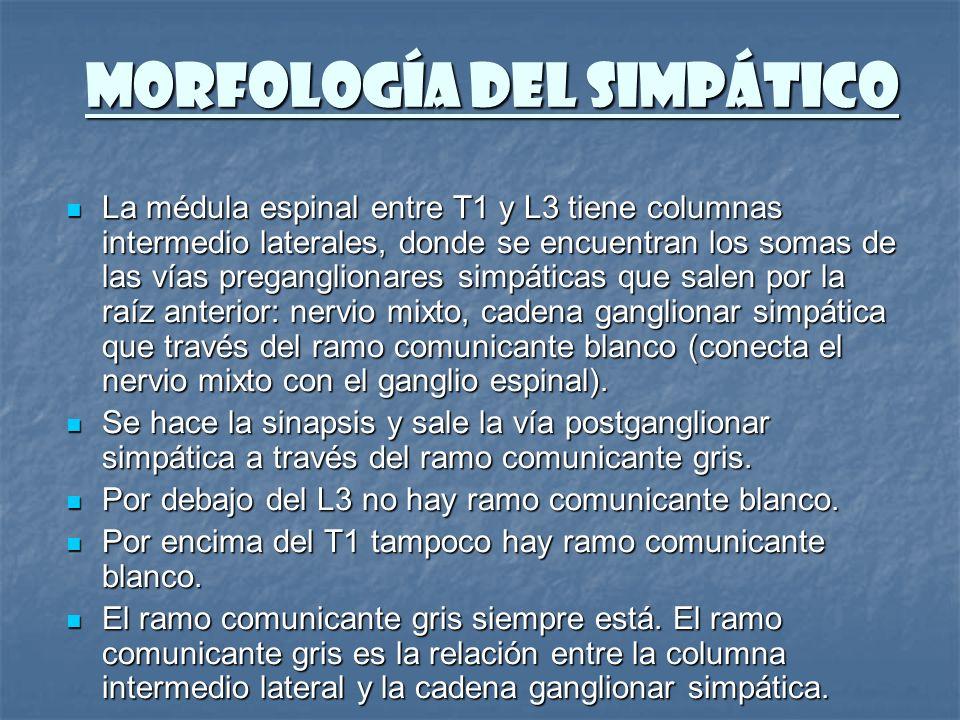 MORFOLOGÍA DEL SIMPÁTICO