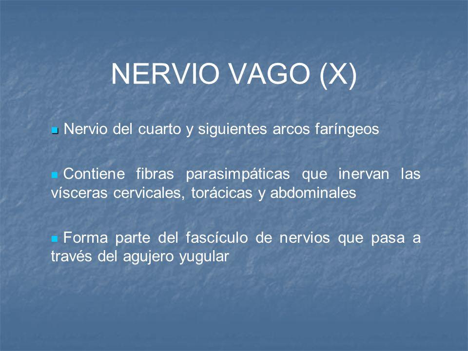 NERVIO VAGO (X) Nervio del cuarto y siguientes arcos faríngeos