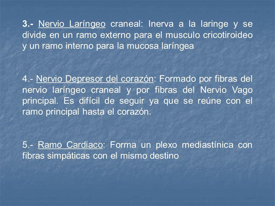 3.- Nervio Laríngeo craneal: Inerva a la laringe y se divide en un ramo externo para el musculo cricotiroideo y un ramo interno para la mucosa laríngea