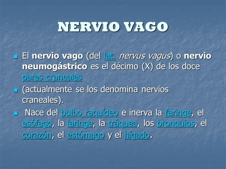 NERVIO VAGO El nervio vago (del lat. nervus vagus) o nervio neumogástrico es el décimo (X) de los doce pares craneales.
