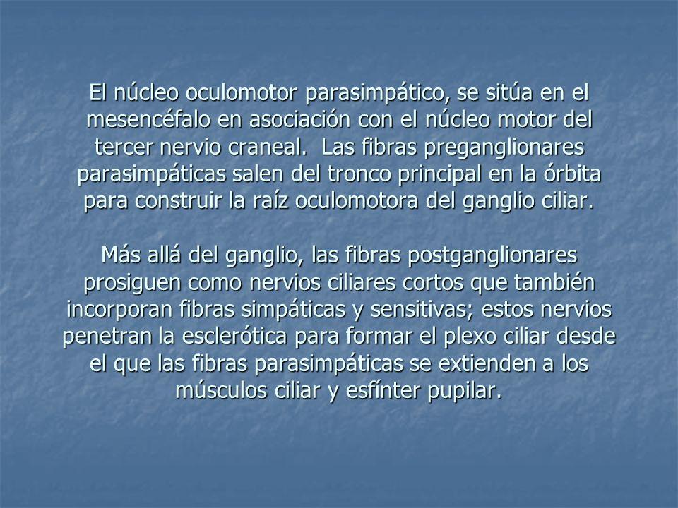 El núcleo oculomotor parasimpático, se sitúa en el mesencéfalo en asociación con el núcleo motor del tercer nervio craneal.