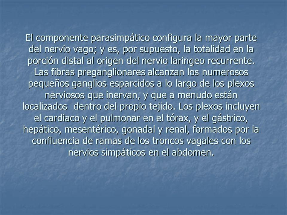 El componente parasimpático configura la mayor parte del nervio vago; y es, por supuesto, la totalidad en la porción distal al origen del nervio laringeo recurrente.