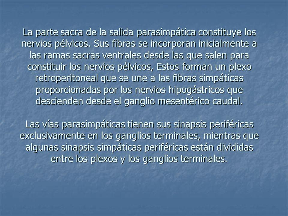La parte sacra de la salida parasimpática constituye los nervios pélvicos.