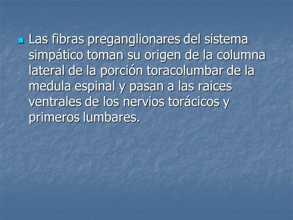 Las fibras preganglionares del sistema simpático toman su origen de la columna lateral de la porción toracolumbar de la medula espinal y pasan a las raices ventrales de los nervios torácicos y primeros lumbares.