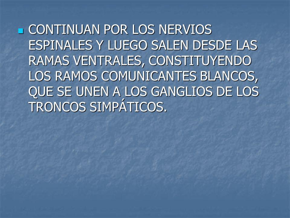 CONTINUAN POR LOS NERVIOS ESPINALES Y LUEGO SALEN DESDE LAS RAMAS VENTRALES, CONSTITUYENDO LOS RAMOS COMUNICANTES BLANCOS, QUE SE UNEN A LOS GANGLIOS DE LOS TRONCOS SIMPÁTICOS.