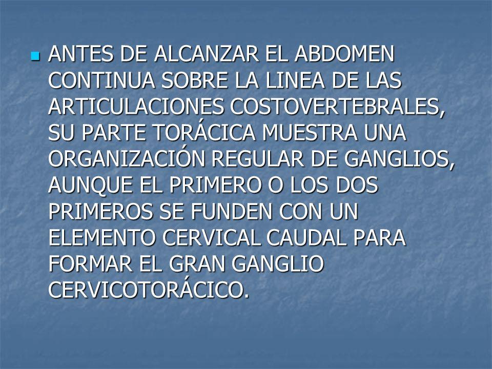 ANTES DE ALCANZAR EL ABDOMEN CONTINUA SOBRE LA LINEA DE LAS ARTICULACIONES COSTOVERTEBRALES, SU PARTE TORÁCICA MUESTRA UNA ORGANIZACIÓN REGULAR DE GANGLIOS, AUNQUE EL PRIMERO O LOS DOS PRIMEROS SE FUNDEN CON UN ELEMENTO CERVICAL CAUDAL PARA FORMAR EL GRAN GANGLIO CERVICOTORÁCICO.