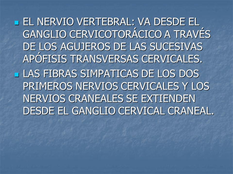 EL NERVIO VERTEBRAL: VA DESDE EL GANGLIO CERVICOTORÁCICO A TRAVÉS DE LOS AGUJEROS DE LAS SUCESIVAS APÓFISIS TRANSVERSAS CERVICALES.
