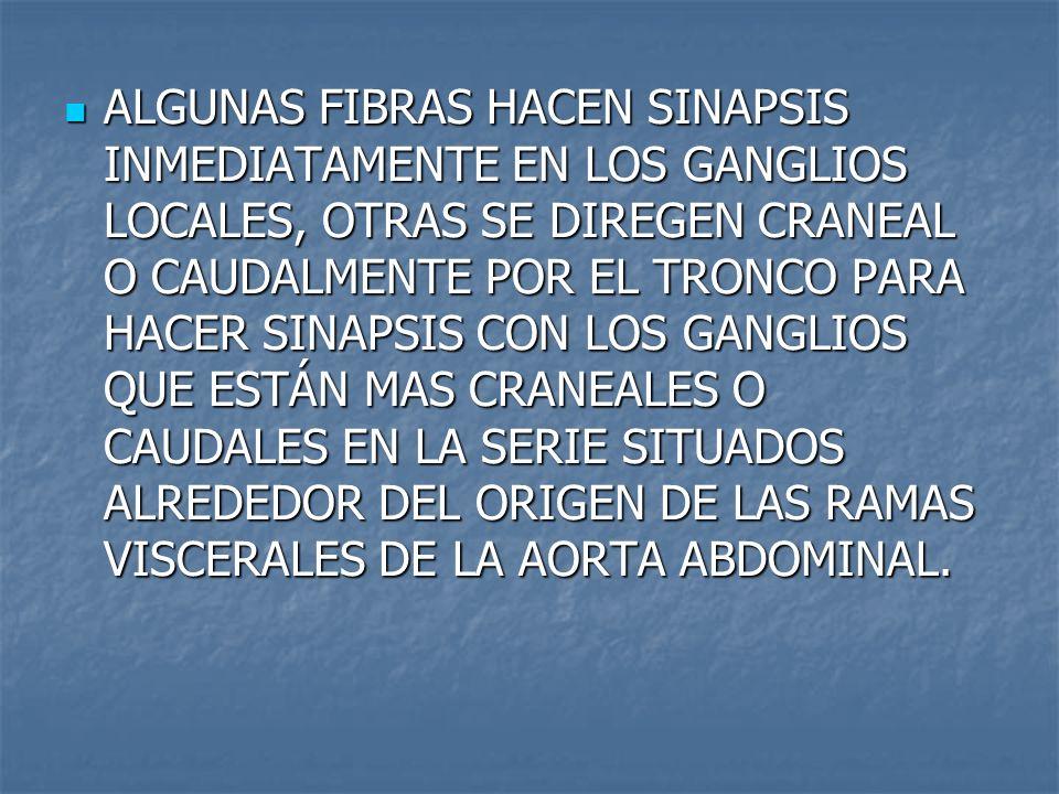ALGUNAS FIBRAS HACEN SINAPSIS INMEDIATAMENTE EN LOS GANGLIOS LOCALES, OTRAS SE DIREGEN CRANEAL O CAUDALMENTE POR EL TRONCO PARA HACER SINAPSIS CON LOS GANGLIOS QUE ESTÁN MAS CRANEALES O CAUDALES EN LA SERIE SITUADOS ALREDEDOR DEL ORIGEN DE LAS RAMAS VISCERALES DE LA AORTA ABDOMINAL.