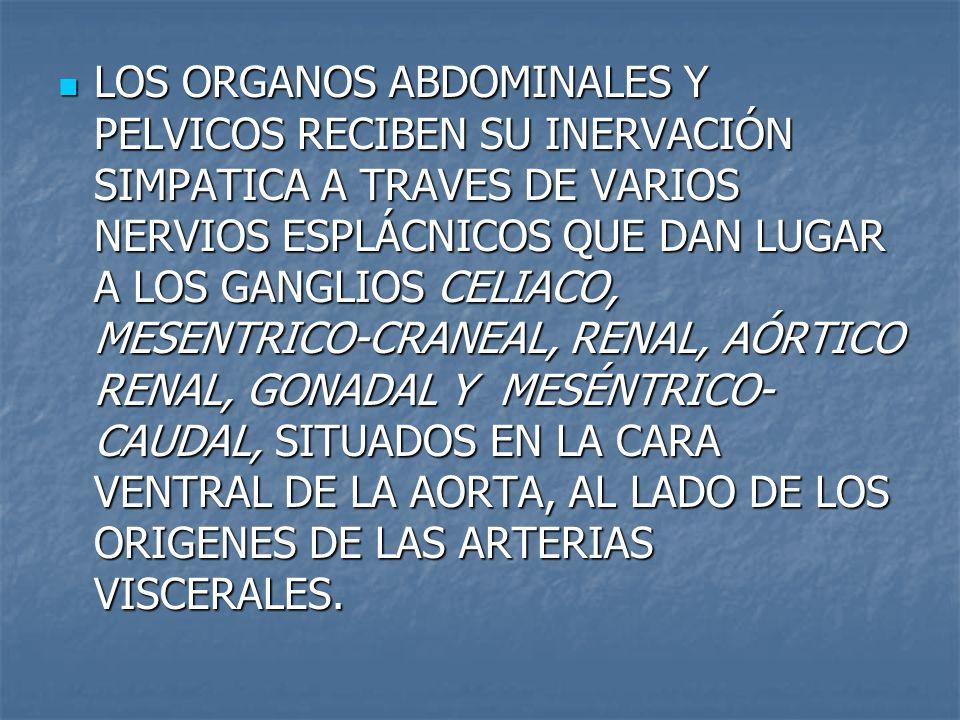 LOS ORGANOS ABDOMINALES Y PELVICOS RECIBEN SU INERVACIÓN SIMPATICA A TRAVES DE VARIOS NERVIOS ESPLÁCNICOS QUE DAN LUGAR A LOS GANGLIOS CELIACO, MESENTRICO-CRANEAL, RENAL, AÓRTICO RENAL, GONADAL Y MESÉNTRICO-CAUDAL, SITUADOS EN LA CARA VENTRAL DE LA AORTA, AL LADO DE LOS ORIGENES DE LAS ARTERIAS VISCERALES.