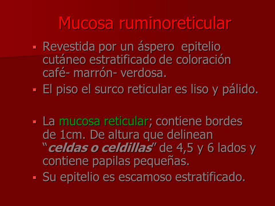 Mucosa ruminoreticular
