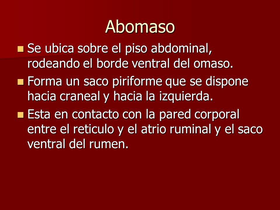 Abomaso Se ubica sobre el piso abdominal, rodeando el borde ventral del omaso.