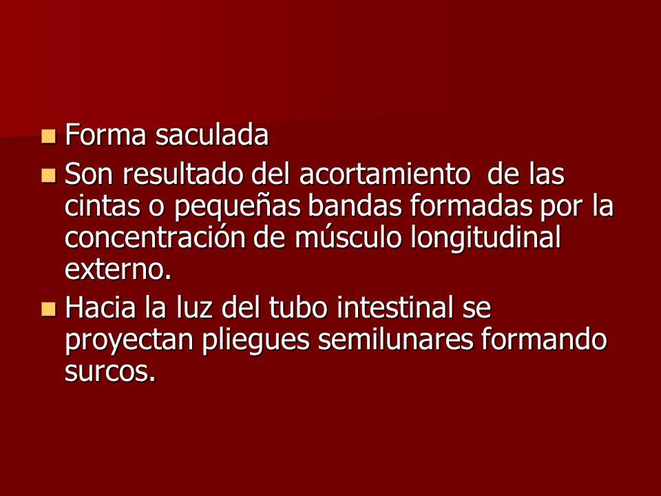 Forma saculadaSon resultado del acortamiento de las cintas o pequeñas bandas formadas por la concentración de músculo longitudinal externo.