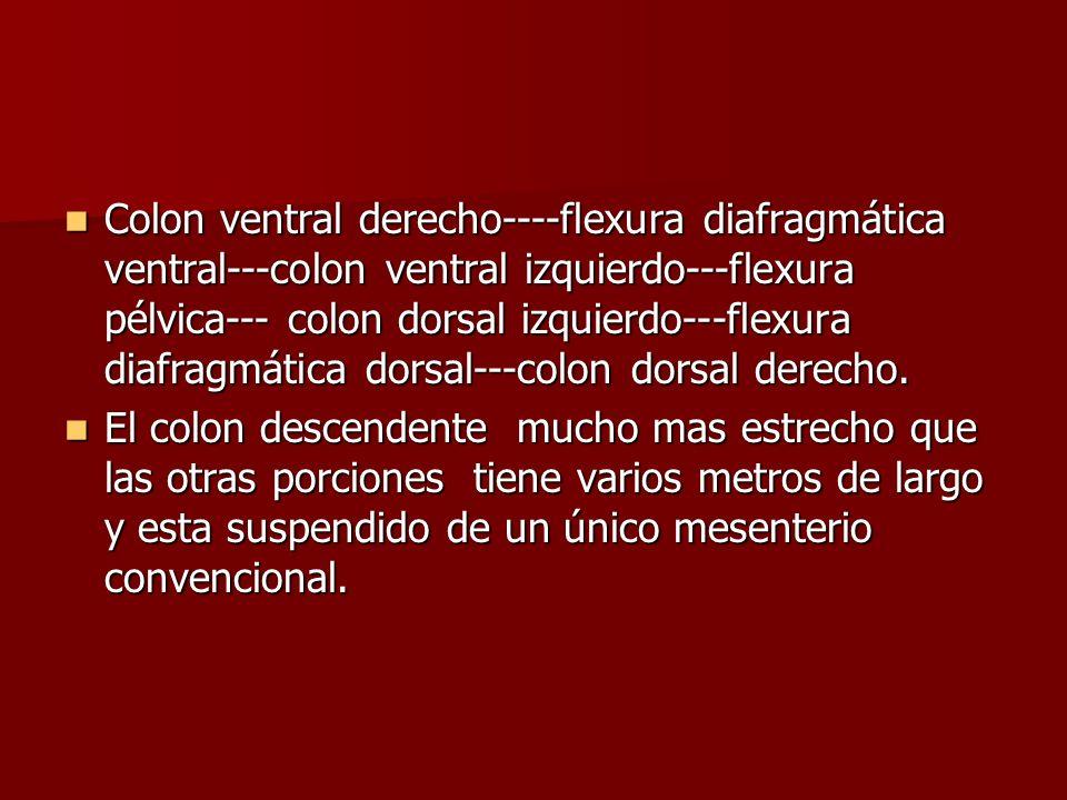 Colon ventral derecho----flexura diafragmática ventral---colon ventral izquierdo---flexura pélvica--- colon dorsal izquierdo---flexura diafragmática dorsal---colon dorsal derecho.