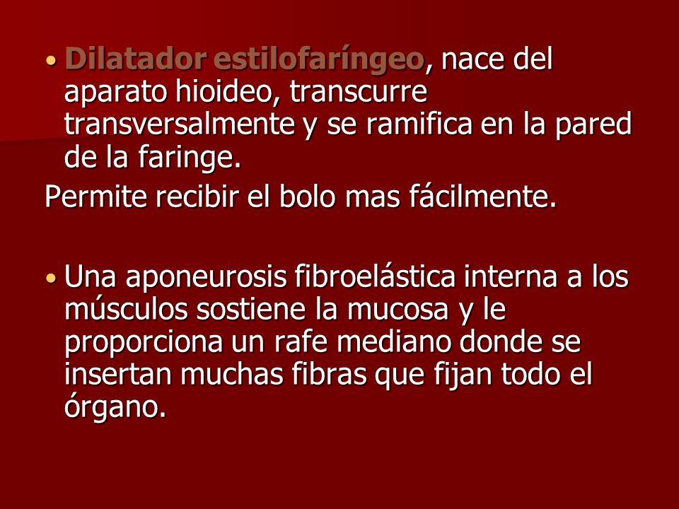 Dilatador estilofaríngeo, nace del aparato hioideo, transcurre transversalmente y se ramifica en la pared de la faringe.