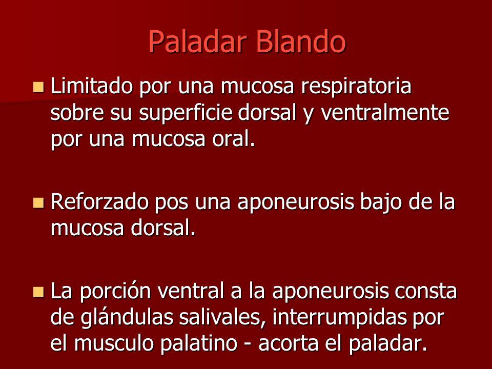 Paladar Blando Limitado por una mucosa respiratoria sobre su superficie dorsal y ventralmente por una mucosa oral.