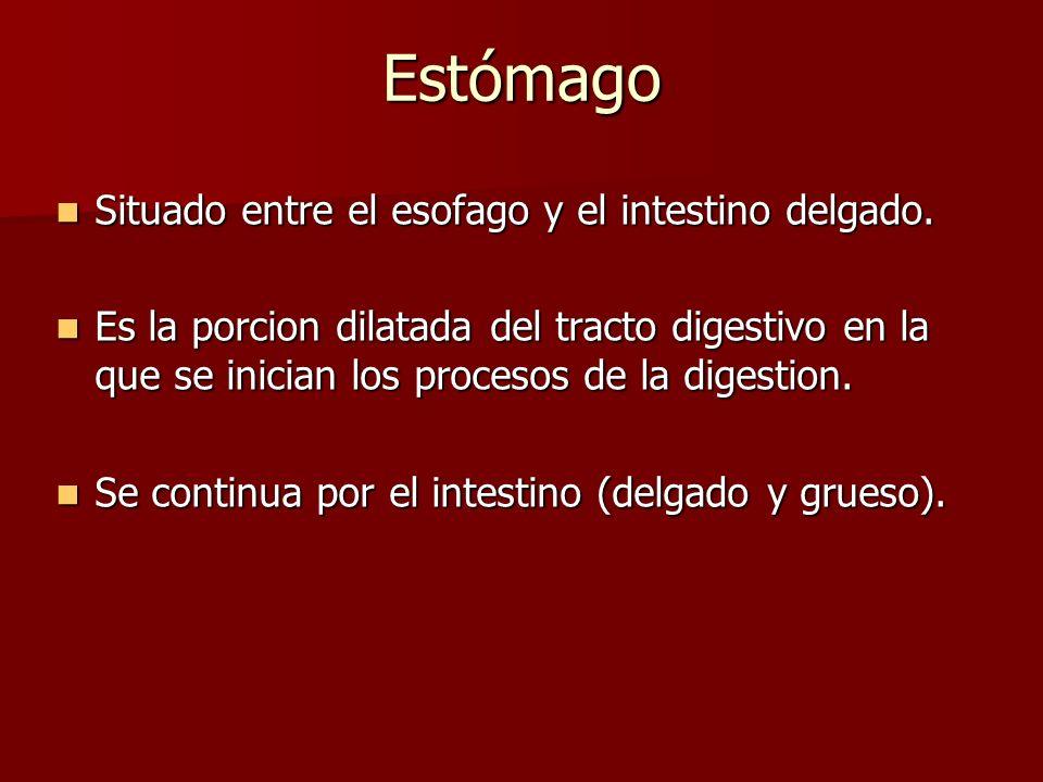 Estómago Situado entre el esofago y el intestino delgado.