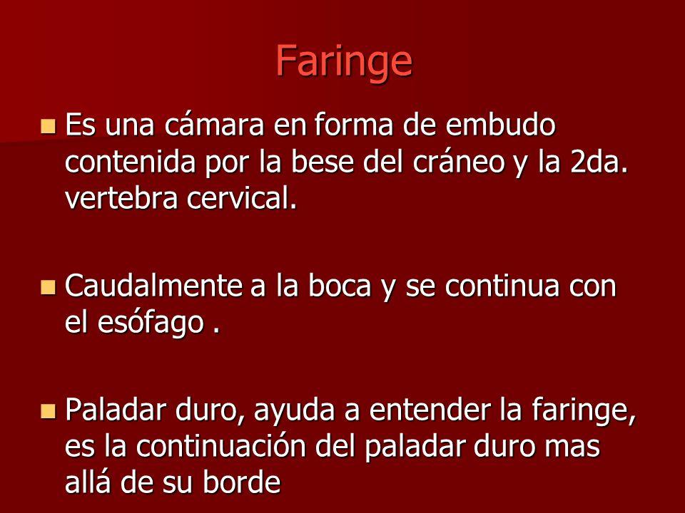 Faringe Es una cámara en forma de embudo contenida por la bese del cráneo y la 2da. vertebra cervical.