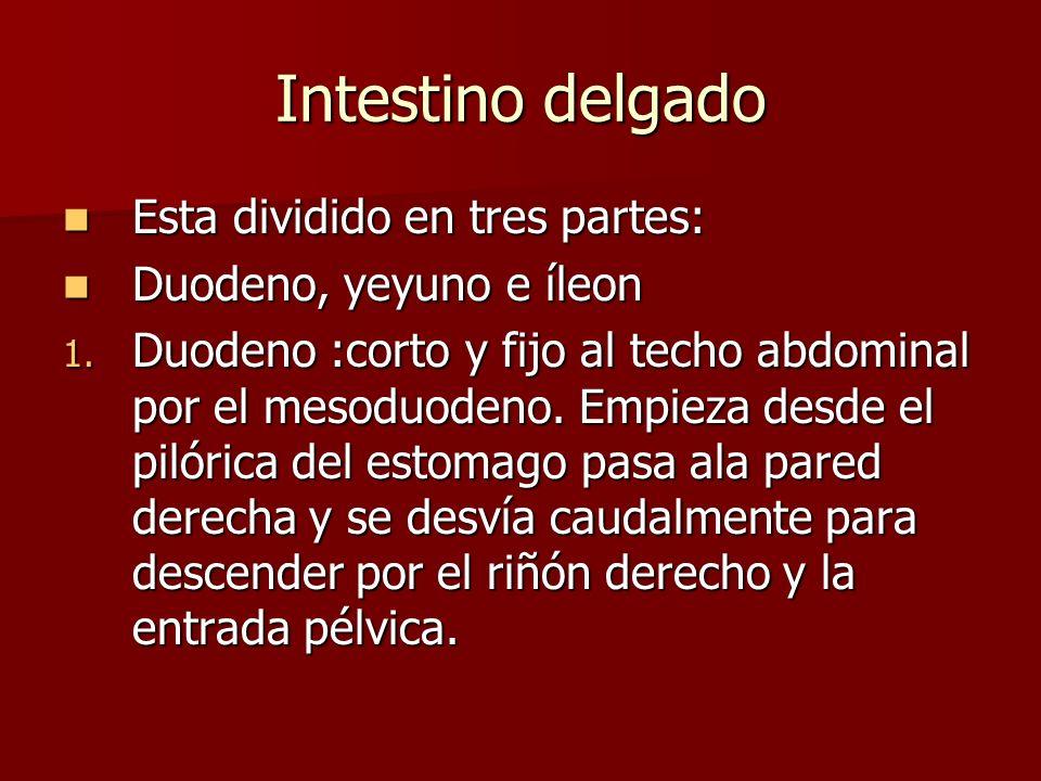Intestino delgado Esta dividido en tres partes: