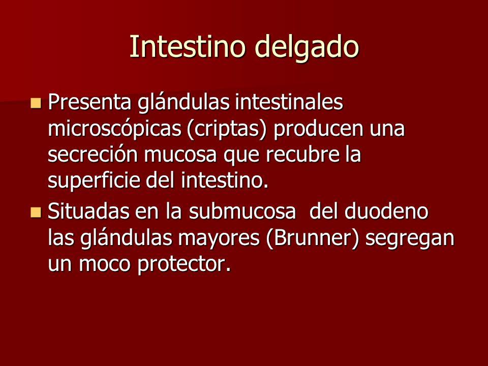 Intestino delgado Presenta glándulas intestinales microscópicas (criptas) producen una secreción mucosa que recubre la superficie del intestino.