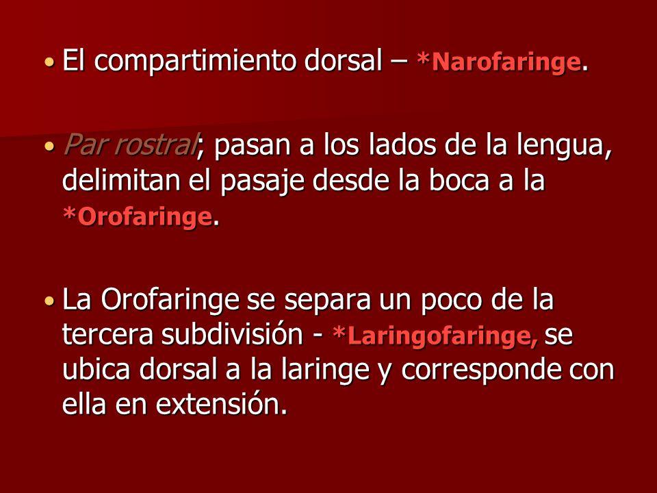 El compartimiento dorsal – *Narofaringe.