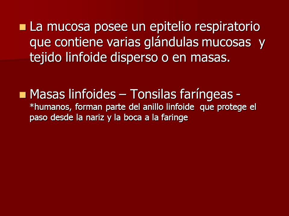 La mucosa posee un epitelio respiratorio que contiene varias glándulas mucosas y tejido linfoide disperso o en masas.