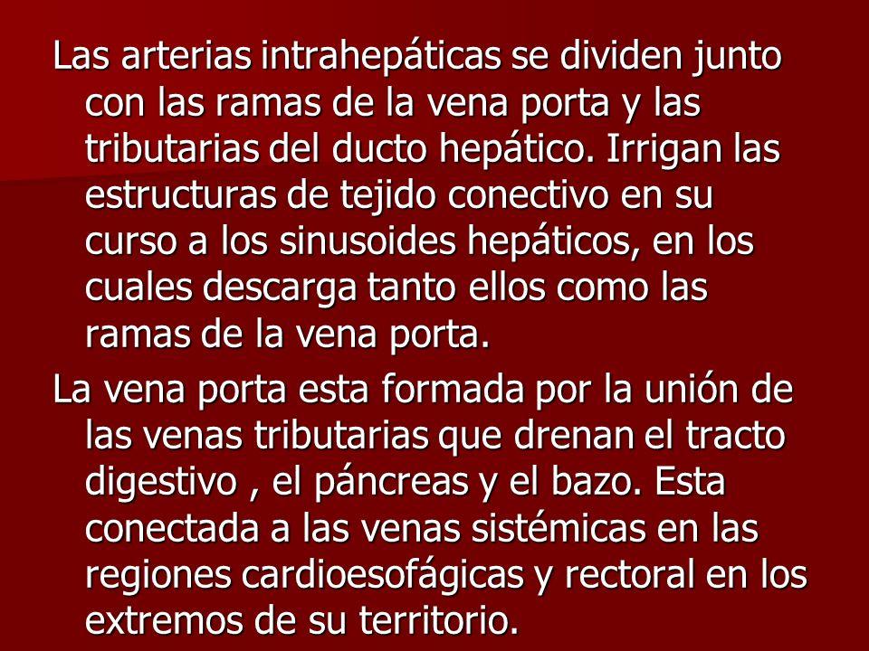 Las arterias intrahepáticas se dividen junto con las ramas de la vena porta y las tributarias del ducto hepático.