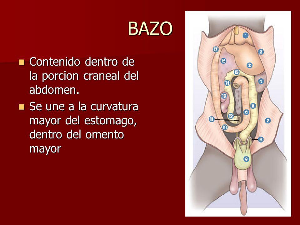 BAZO Contenido dentro de la porcion craneal del abdomen.