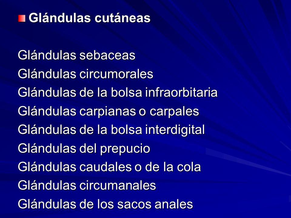 Glándulas cutáneas Glándulas sebaceas. Glándulas circumorales. Glándulas de la bolsa infraorbitaria.