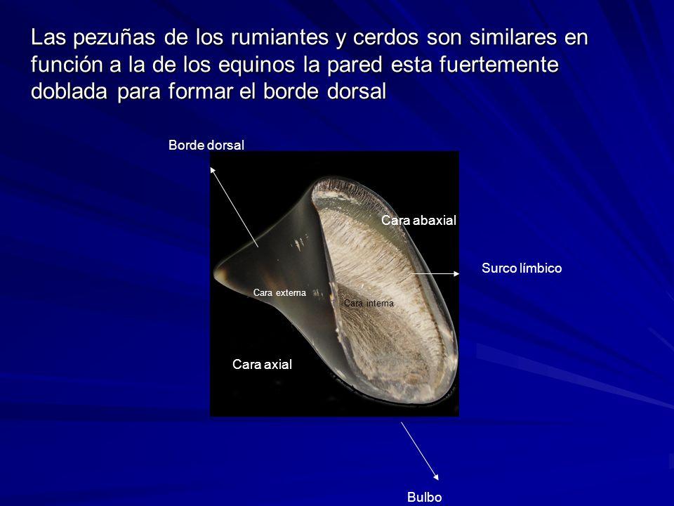 Las pezuñas de los rumiantes y cerdos son similares en función a la de los equinos la pared esta fuertemente doblada para formar el borde dorsal