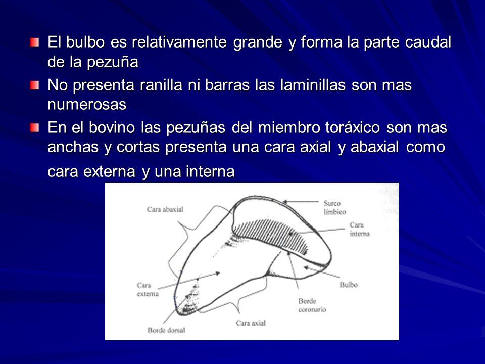 El bulbo es relativamente grande y forma la parte caudal de la pezuña