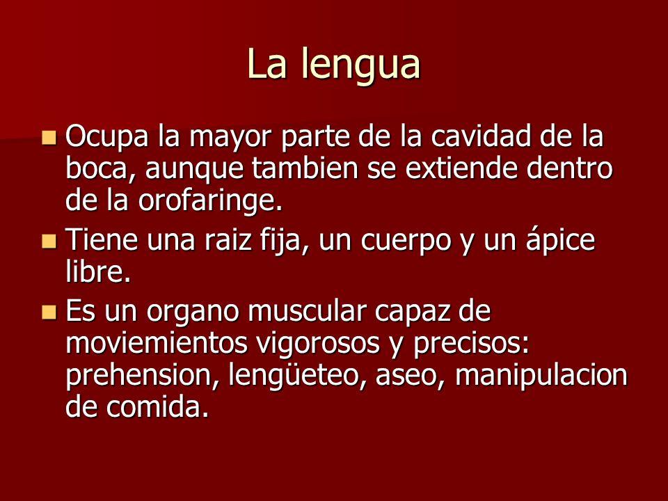 La lengua Ocupa la mayor parte de la cavidad de la boca, aunque tambien se extiende dentro de la orofaringe.