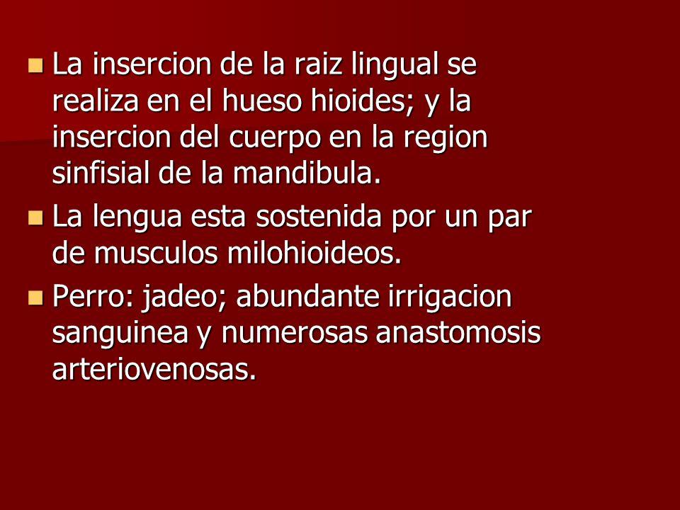 La insercion de la raiz lingual se realiza en el hueso hioides; y la insercion del cuerpo en la region sinfisial de la mandibula.