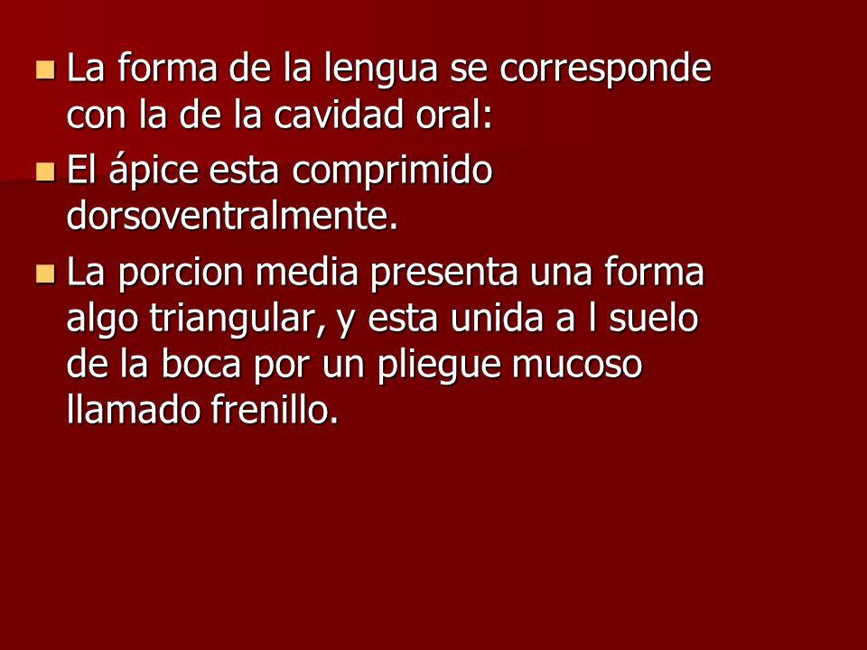 La forma de la lengua se corresponde con la de la cavidad oral: