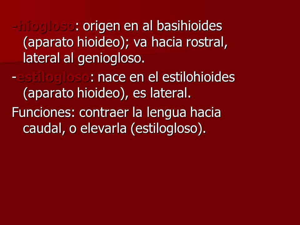 -hiogloso: origen en al basihioides (aparato hioideo); va hacia rostral, lateral al geniogloso.