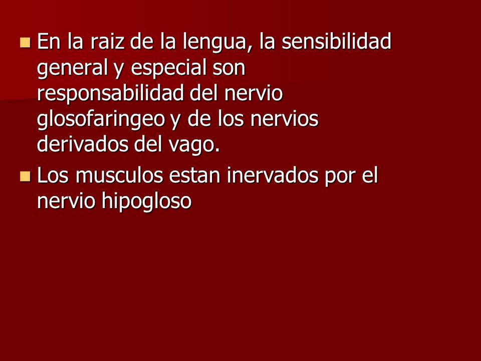 En la raiz de la lengua, la sensibilidad general y especial son responsabilidad del nervio glosofaringeo y de los nervios derivados del vago.