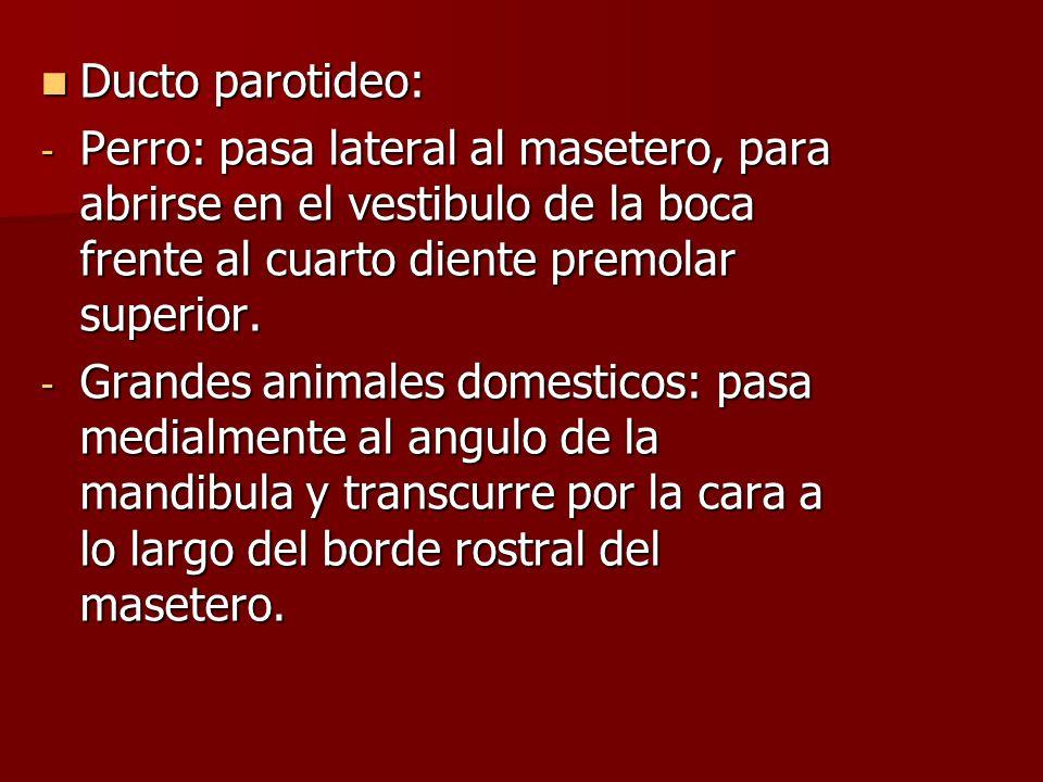 Ducto parotideo: Perro: pasa lateral al masetero, para abrirse en el vestibulo de la boca frente al cuarto diente premolar superior.