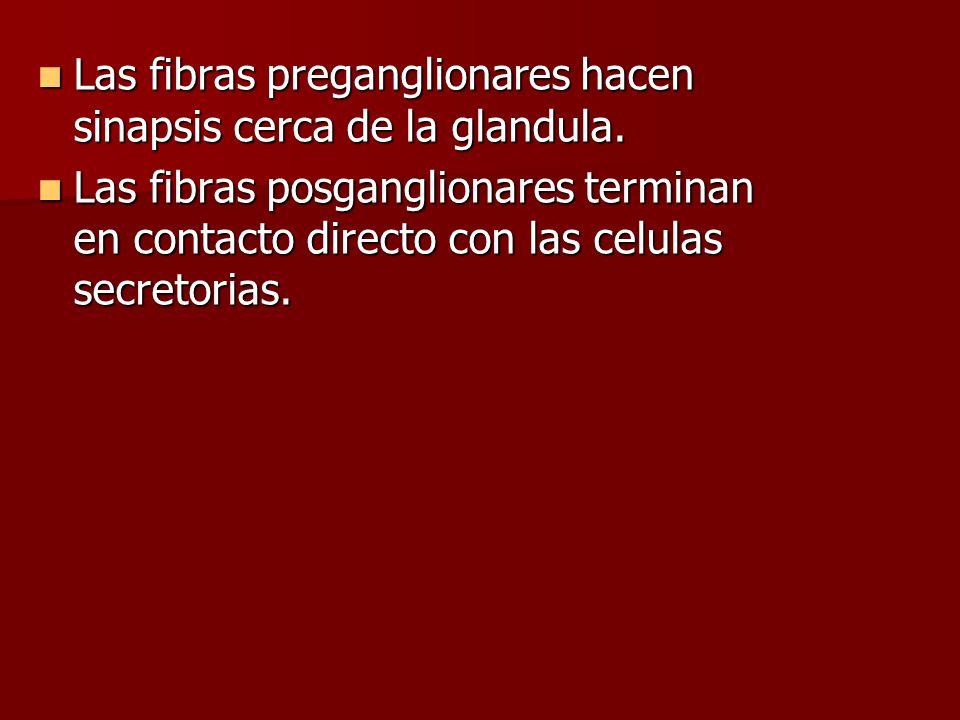 Las fibras preganglionares hacen sinapsis cerca de la glandula.