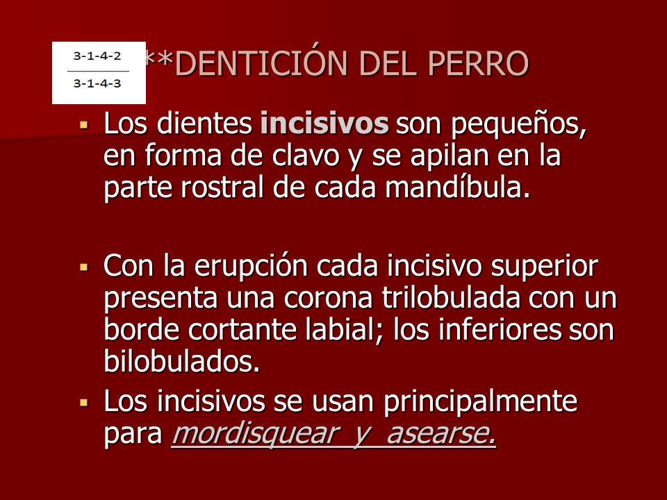 **DENTICIÓN DEL PERRO Los dientes incisivos son pequeños, en forma de clavo y se apilan en la parte rostral de cada mandíbula.