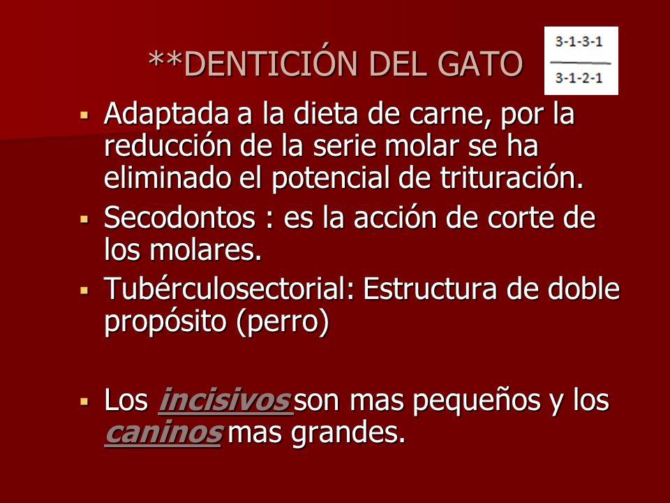 **DENTICIÓN DEL GATOAdaptada a la dieta de carne, por la reducción de la serie molar se ha eliminado el potencial de trituración.