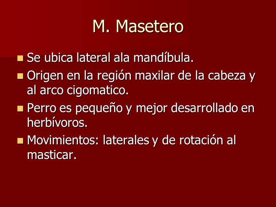 M. Masetero Se ubica lateral ala mandíbula.
