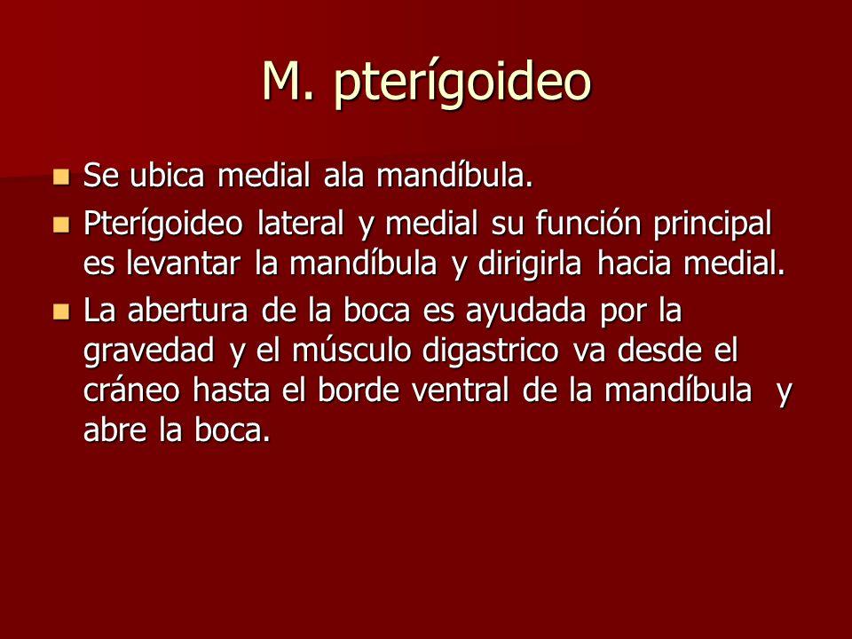 M. pterígoideo Se ubica medial ala mandíbula.