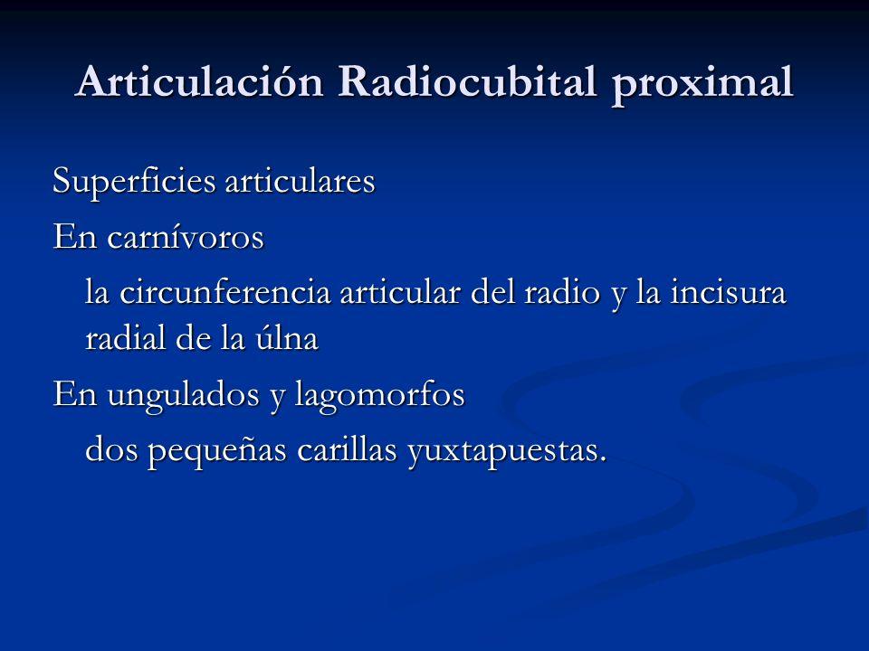 Articulación Radiocubital proximal